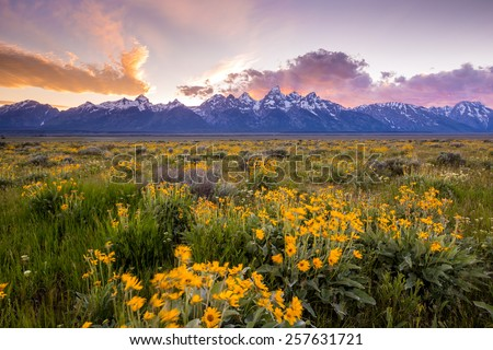 Flowers of  Grand Tetons National Park - stock photo