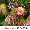 flowers of Grevillea Winpara gem Australian native plant in garden - stock photo