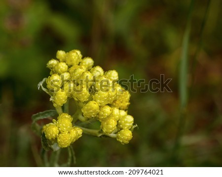 Flowers of helichrysum arenarium closeup. An infusion of the bright yellow flowers is used in the treatment of gall bladder disorders - stock photo