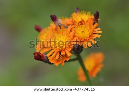 Flowers of Hieracium aurantiacum - stock photo