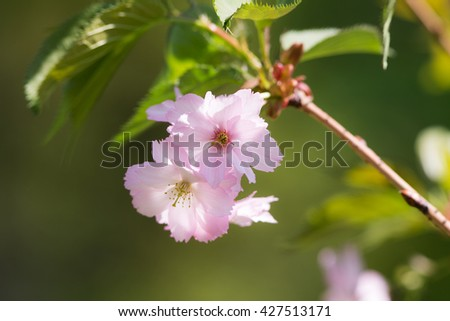flowers of japan cherry in the spring closeup - stock photo