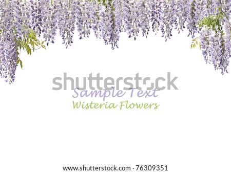 """Flowers of Japanese wisteria forming """"curtains"""" on a pure white background. Copy space. - stock photo"""
