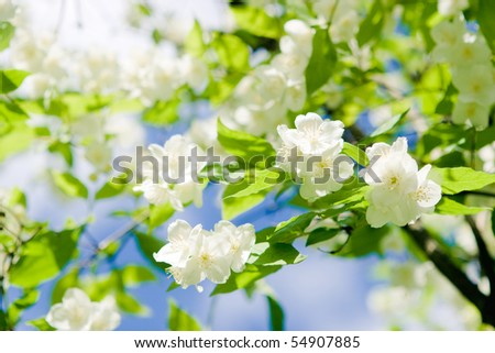 Flowers of jasmin - stock photo