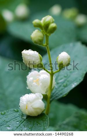 Flowers of jasmin after fresh rain - stock photo
