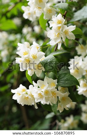 Flowers of jasmine in city garden - stock photo