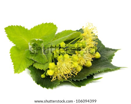 Flowers of linden tree and mint on a white background - stock photo
