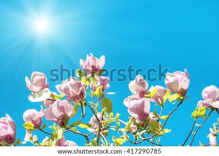 Flowers of Magnolia soulangiana tree with blue sky background - stock photo