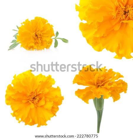 flowers of marigold, design elements - stock photo