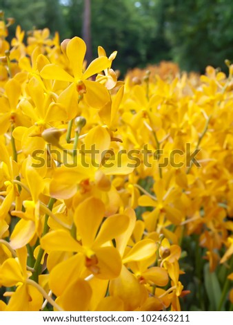 Flowers of Mokara orchid in tropical garden with shallow DoF(depth of field), floral background - stock photo