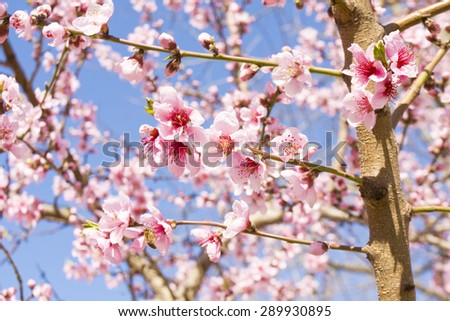 Flowers of pink cherry tree (Japanese sakura) on blue sky.