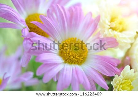 Flowers of pink chrysanthemum in a sunbeam - stock photo
