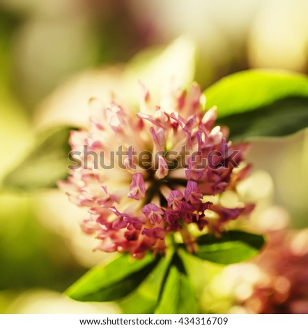 Flowers of pink clovers, natural summer background, blurred image, shallow depth of field - stock photo