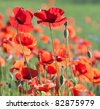 Flowers of poppy with selective focus. Colors of june, poppy field against sunlight. Beautiful nature background. - stock photo