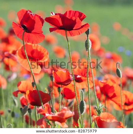 Flowers poppy selective focus colors june stock photo royalty free flowers of poppy with selective focus colors of june poppy field against sunlight mightylinksfo