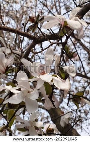 flowers of star magnolia,magnolia stellata - stock photo