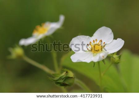 Flowers of strawberry. Closeup - stock photo