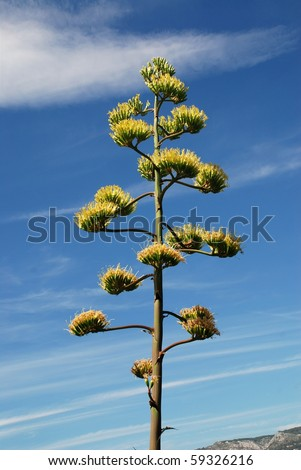 Flowers of the american Agave plant on blue sky - stock photo