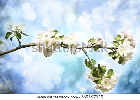 Flowers of the apple blossoms on a spring day - stock photo