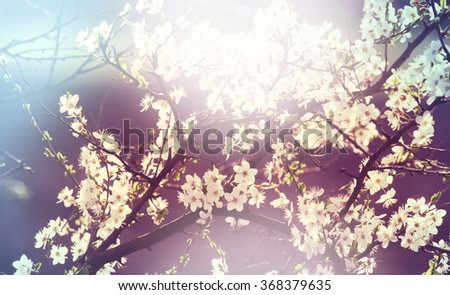 Flowers of the cherry blossom in the spring garden - stock photo