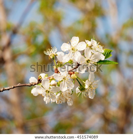 Flowers of the cherry blossoms on a spring - stock photo