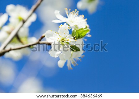 Flowers of the cherry blossoms on a spring day - stock photo