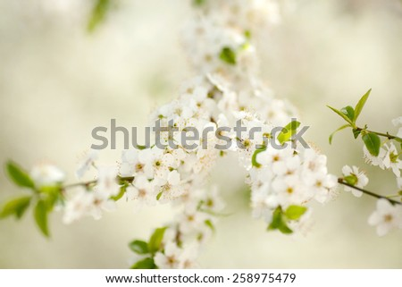 Flowers of the cherry blossoms on a spring day. Beautiful background. Selective focus - stock photo