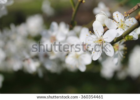 Flowers of the cherry blossoms on a spring day,the awakening of nature - stock photo