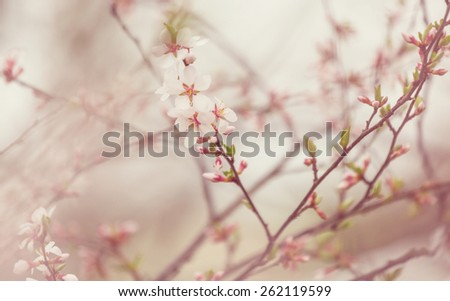 Flowers of the cherry blossoms on a spring garden - stock photo