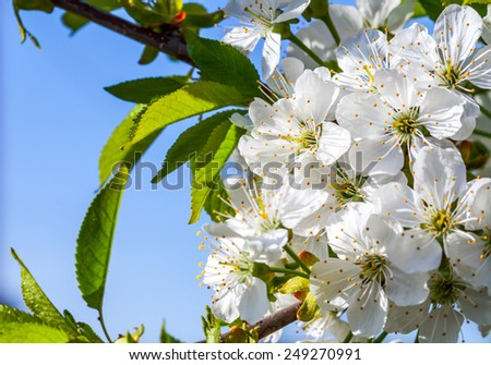 Flowers of the cherry tree, spring backgrounds - stock photo