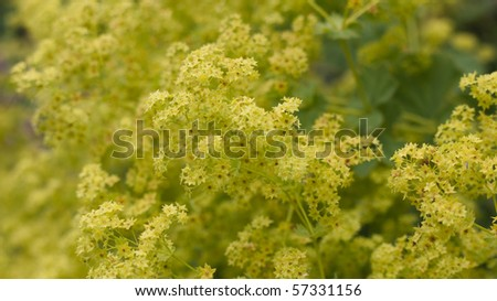 Flowers of the Lady's Mantle - stock photo
