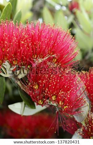 Flowers of the Pohutukawa (Metrosideros excelsa) a native tree of New Zealand often referred to as the New Zealand Christmas Tree as it flowers in December. Known as rakau rangatira by the Maori. - stock photo