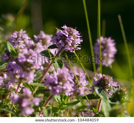 Flowers of the thymus on a green background - stock photo