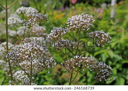 Flowers of Valeriana Officinalis or Valerian plant, often used to treat insomnia in herbal medicine, in the garden at summer. - stock photo