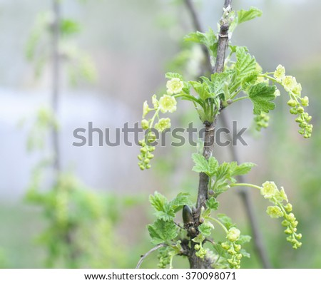 Flowers of white currant in the early spring. Selective focus.  - stock photo