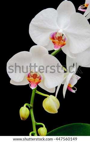 Flowers of white orchid with bright purple middle on a black background . - stock photo