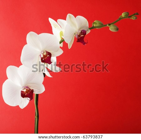 Flowers of white orchid with buds on red background - stock photo