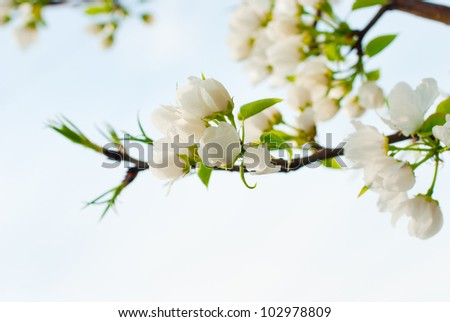 Flowers of wild apple trees, large - stock photo