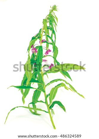 flowers of Willow-herb (Ivan-tea) isolated on a white background