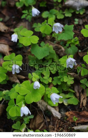 flowers of Wood Sorrel (Oxalis acetosella) - stock photo