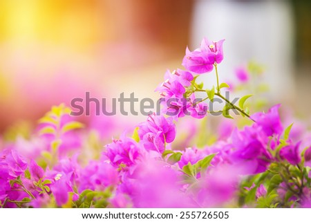 flowers or Bougainvillea in the garden or nature park vintage - stock photo