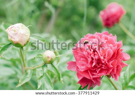 Flowers peonies against blurred green background.