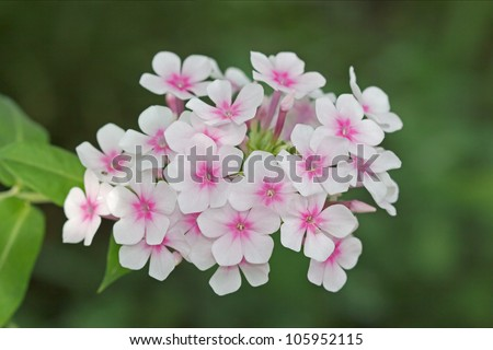 Flowers phlox, Latin Phlox paniculata - stock photo