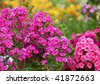 Flowers phlox, summer meadow - stock photo