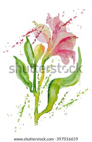 Flowers pink alstromeries, bud, watercolor - stock photo