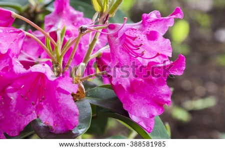Flowers pink rhododendron (Rhododendron Williamsianum) in the  Minsk a botanical garden, Belarus. Selective focus with shallow depth of field.