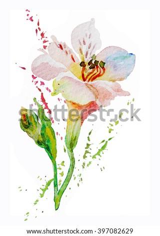 Flowers pink, white, alstromeries, bud, watercolor - stock photo