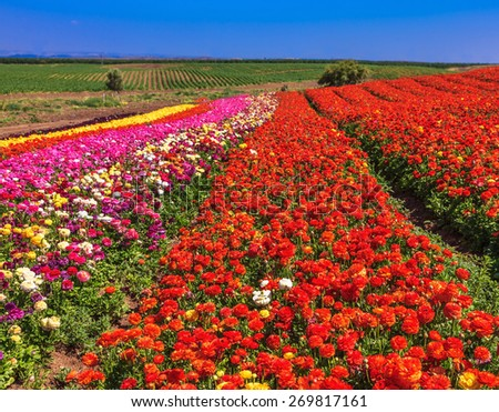 Flowers planted with broad bands of different colors. Spring fine day. Field of multi-colored decorative flowers buttercups Ranunculus - stock photo