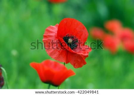 Flowers poppy - stock photo
