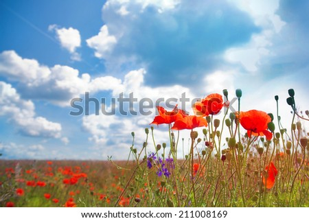 Flowers poppy on a background of the blue sky - stock photo