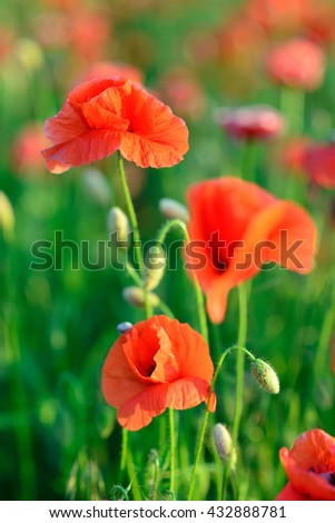 flowers red poppies. flower field. Close-up of a flower. background - stock photo